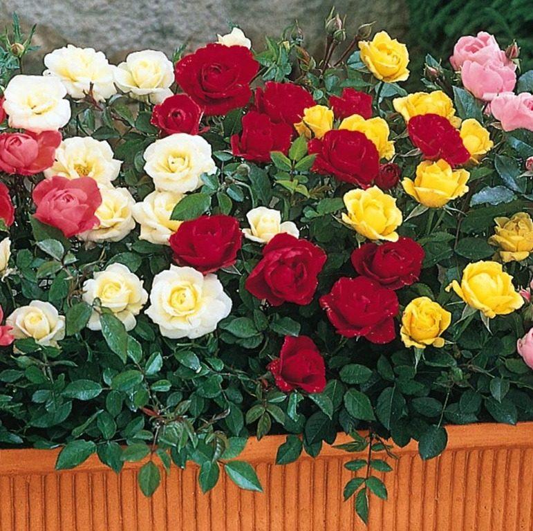 Galer a de im genes rosas en miniatura para la terraza for Cancion jardin de rosas